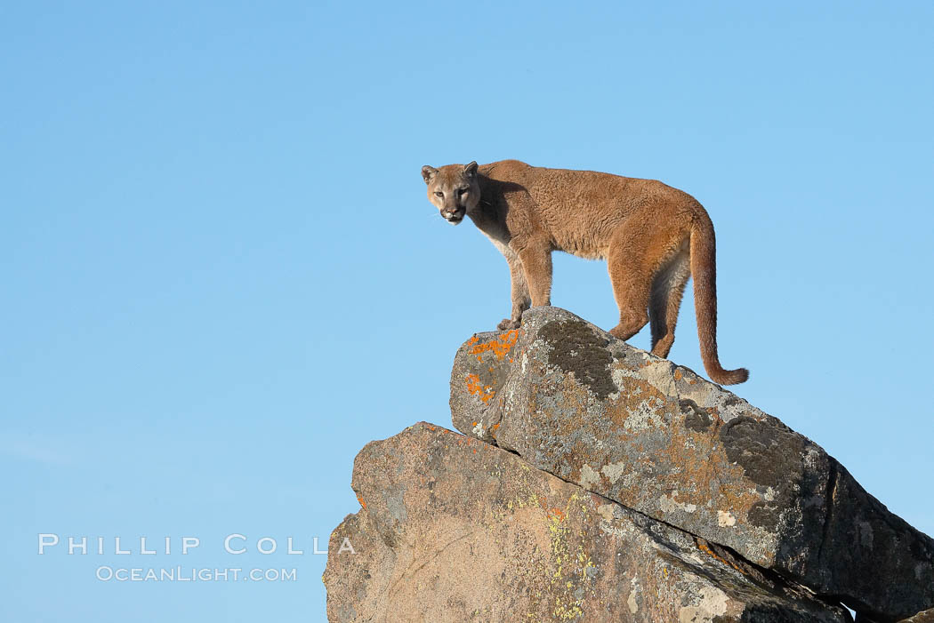 Mountain lion, Sierra Nevada foothills, Mariposa, California., Puma concolor, natural history stock photograph, photo id 15803