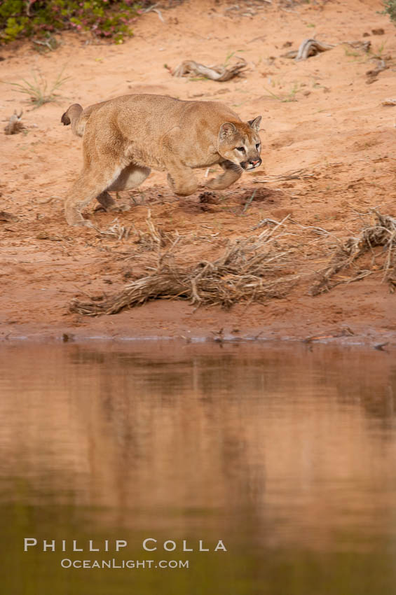 Mountain lion., Puma concolor, natural history stock photograph, photo id 12389