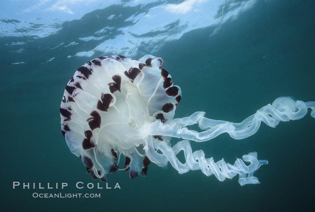 Purple-striped jellyfish. San Diego, California, USA, Chrysaora colorata, natural history stock photograph, photo id 01034