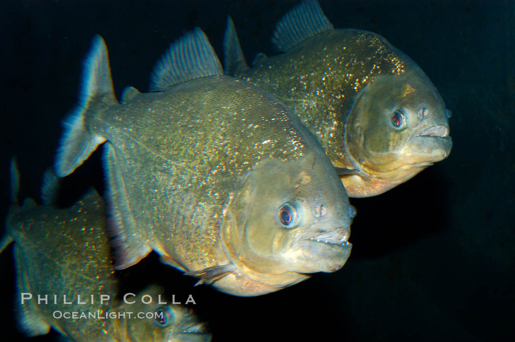 Red piranha, a fierce predatory freshwater fish native to South American rivers.  Its reputation for deadly attacks is legend., Pygocentrus nattereri, natural history stock photograph, photo id 09816