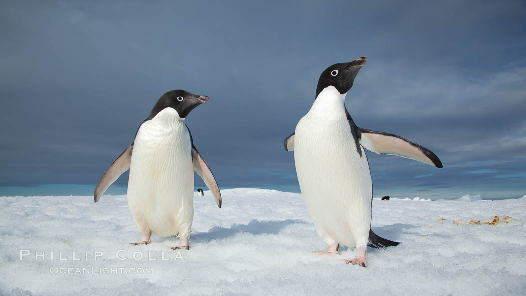 Two Adelie penguins, holding their wings out, standing on an iceberg. Paulet Island, Antarctic Peninsula, Antarctica, Pygoscelis adeliae, natural history stock photograph, photo id 25014