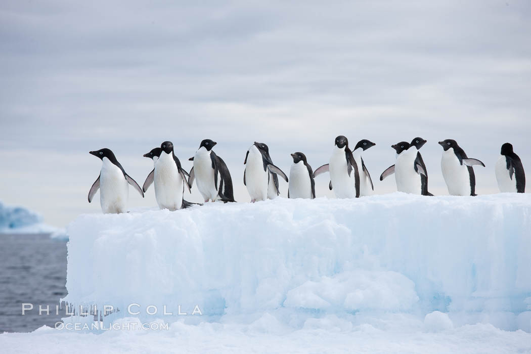 Adelie penguins, in a line, standing on an iceberg. Paulet Island, Antarctic Peninsula, Antarctica, Pygoscelis adeliae, natural history stock photograph, photo id 25018