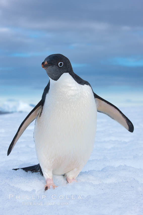 A curious Adelie penguin, standing at the edge of an iceberg, looks over the photographer. Paulet Island, Antarctic Peninsula, Antarctica, Pygoscelis adeliae, natural history stock photograph, photo id 25016