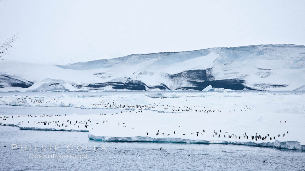 Adelie Penguins on fast ice, along the shore of Paulet Island. Antarctic Peninsula, Antarctica, Pygoscelis adeliae, natural history stock photograph, photo id 24907