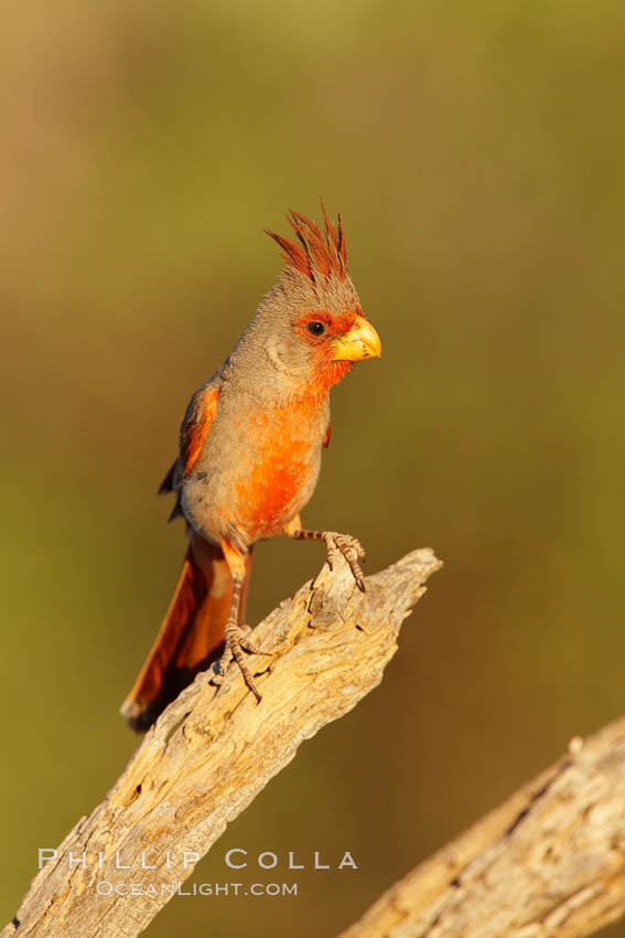 Pyrrhuloxia, male. Amado, Arizona, USA, Cardinalis sinuatus, natural history stock photograph, photo id 23018