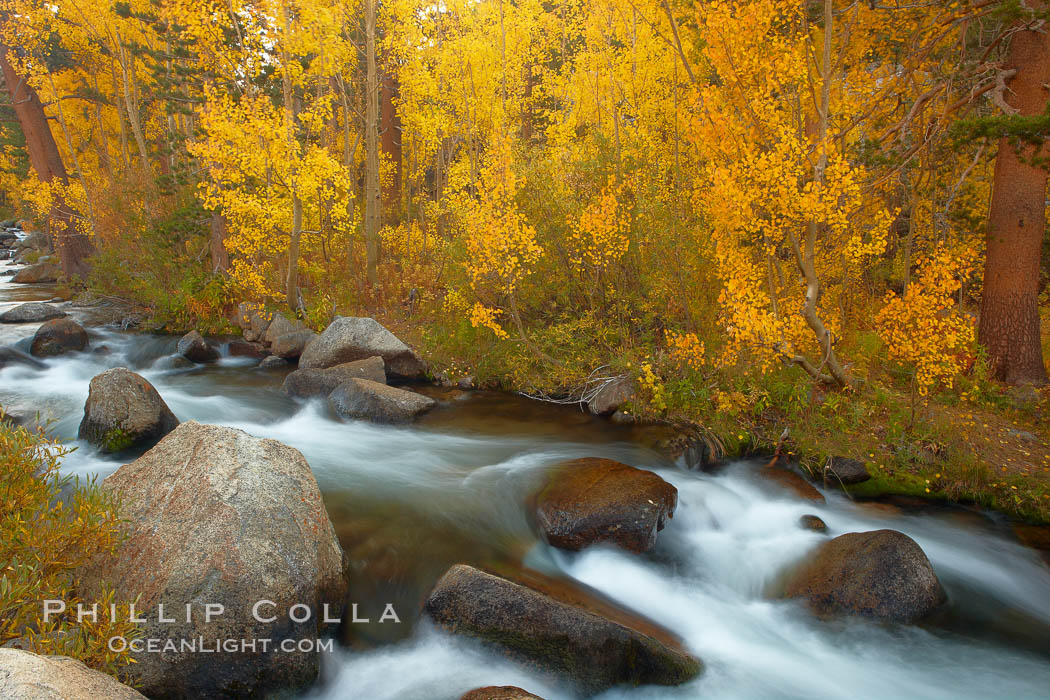 Aspens turn yellow in autumn, changing color alongside the south fork of Bishop Creek at sunset. Bishop Creek Canyon, Sierra Nevada Mountains, Bishop, California, USA, Populus tremuloides, natural history stock photograph, photo id 23362