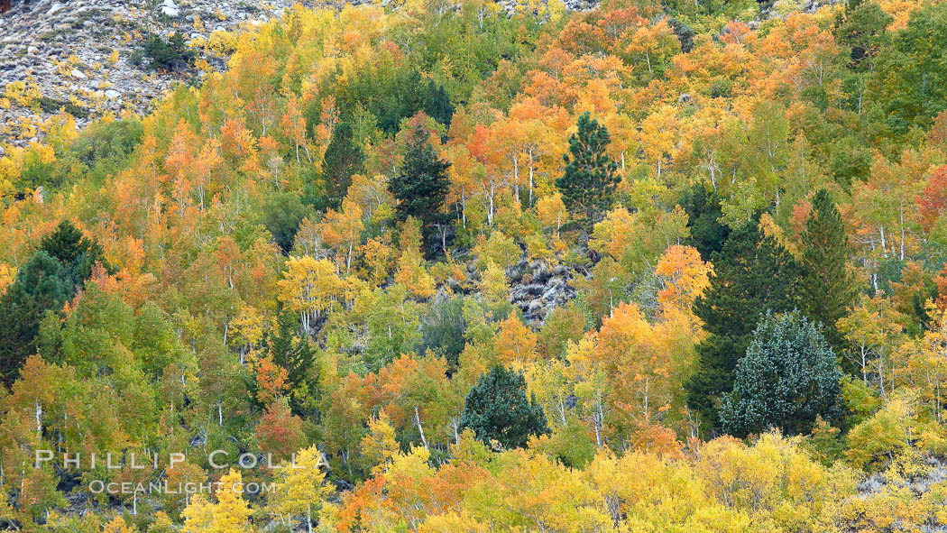 Aspen trees, create a collage of autumn colors on the sides of Rock Creek Canyon, fall colors of yellow, orange, green and red. Rock Creek Canyon, Sierra Nevada Mountains, California, USA, Populus tremuloides, natural history stock photograph, photo id 23364