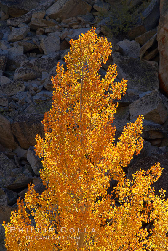 Image 23345, Aspen trees turning yellow in autumn, fall colors in the eastern sierra. Bishop Creek Canyon, Sierra Nevada Mountains, Bishop, California, USA, Populus tremuloides, Phillip Colla, all rights reserved worldwide. Keywords: aspen, aspen tree, autumn, bishop, bishop creek canyon, bishop creek canyon sierra nevada mountains, california, eastern sierra, eastern sierra fall colors, environment, fall, fall color, fall colors, foliage, forest, grove, high sierra, landscape, mountain, nature, outdoors, outside, plant, populus tremuloides, quaking aspen, scene, scenery, scenic, sierra, sierra nevada, south fork, terrestrial plant, tree, usa.