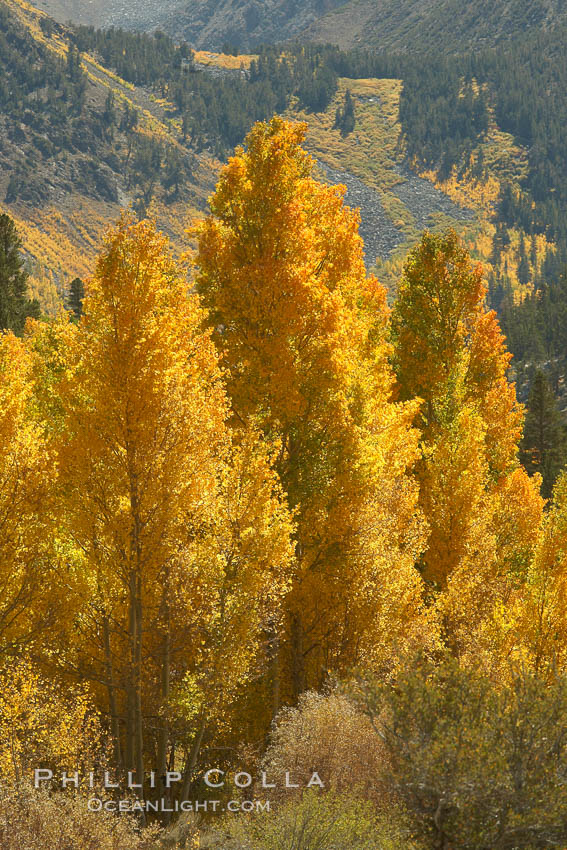 Aspen trees turning yellow in autumn, fall colors in the eastern sierra. Bishop Creek Canyon, Sierra Nevada Mountains, California, USA, Populus tremuloides, natural history stock photograph, photo id 23327