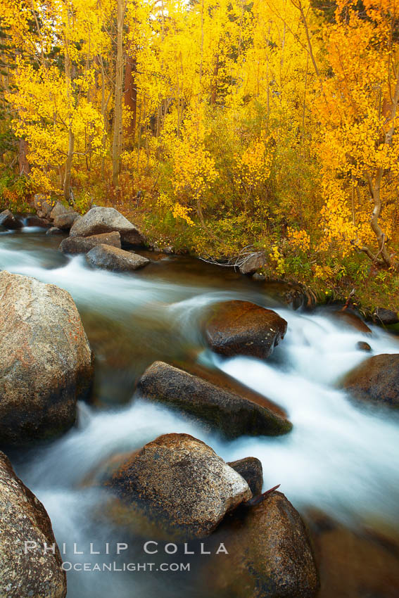 Aspens turn yellow in autumn, changing color alongside the south fork of Bishop Creek at sunset. Bishop Creek Canyon, Sierra Nevada Mountains, Bishop, California, USA, Populus tremuloides, natural history stock photograph, photo id 23329