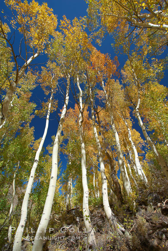 White trunks of aspen trees, viewed upward toward the yellow and orange leaves of autumn and the blue sky beyond. Bishop Creek Canyon, Sierra Nevada Mountains, California, USA, Populus tremuloides, natural history stock photograph, photo id 23337