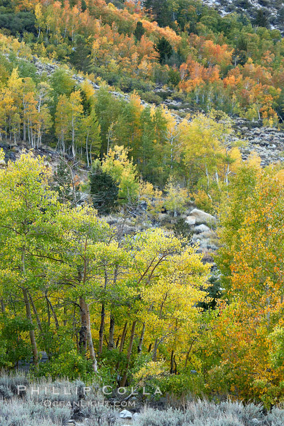 Aspen trees, create a collage of autumn colors on the sides of Rock Creek Canyon, fall colors of yellow, orange, green and red. Rock Creek Canyon, Sierra Nevada Mountains, California, USA, Populus tremuloides, natural history stock photograph, photo id 23370
