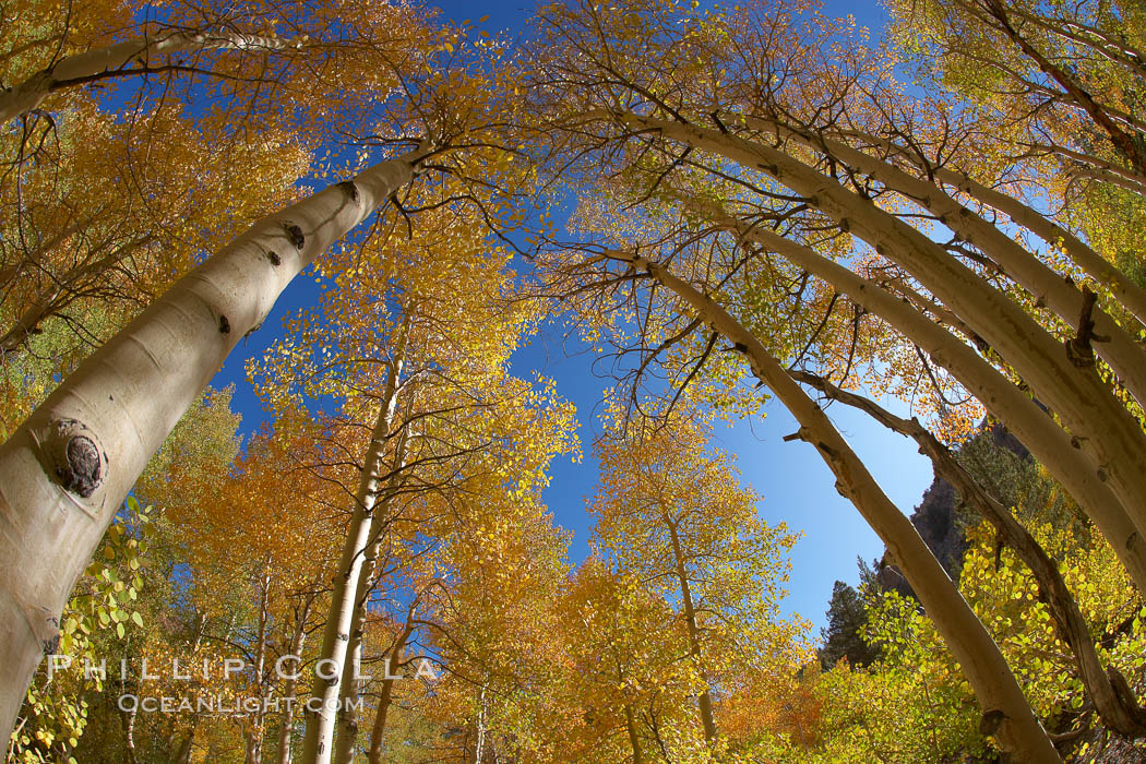 Image 23374, A grove of aspen trees, looking up to the sky along the towering white trunks to the yellow and green leaves, changing color in autumn. Bishop Creek Canyon, Sierra Nevada Mountains, Bishop, California, USA, Populus tremuloides