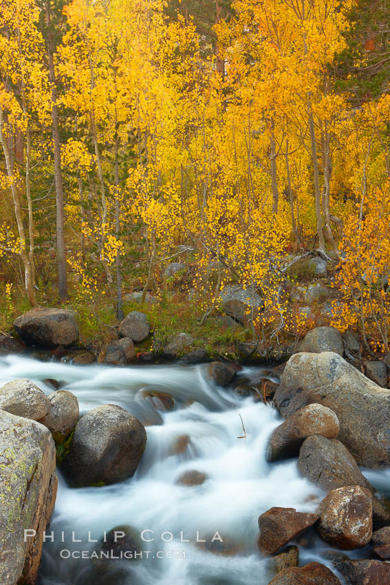 Image 23378, Aspens turn yellow in autumn, changing color alongside the south fork of Bishop Creek at sunset. Bishop Creek Canyon, Sierra Nevada Mountains, Bishop, California, USA, Populus tremuloides