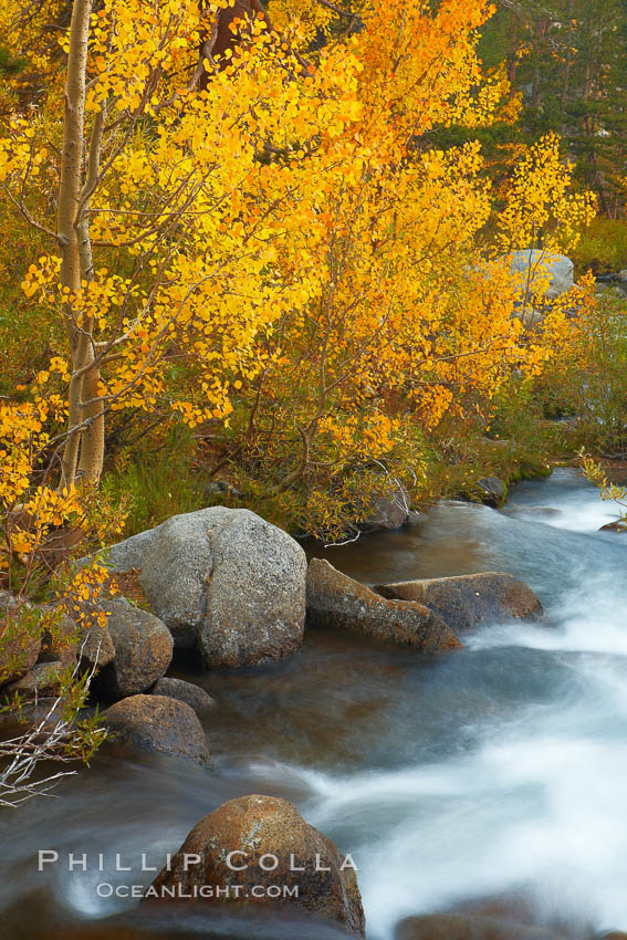Aspens turn yellow in autumn, changing color alongside the south fork of Bishop Creek at sunset. Bishop Creek Canyon, Sierra Nevada Mountains, Bishop, California, USA, Populus tremuloides, natural history stock photograph, photo id 23392