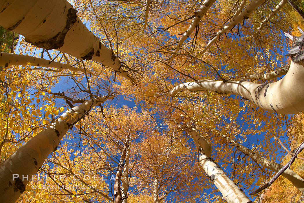 A grove of aspen trees, looking up to the sky along the towering white trunks to the yellow and green leaves, changing color in autumn. Bishop Creek Canyon, Sierra Nevada Mountains, Bishop, California, USA, Populus tremuloides, natural history stock photograph, photo id 23383