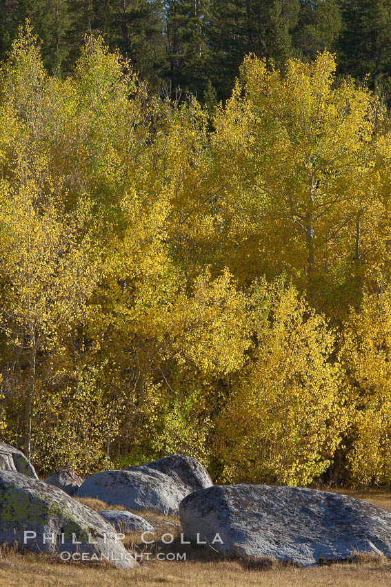 Aspen leaves turn yellow in fall in Rock Creek Canyon. Rock Creek Canyon, Sierra Nevada Mountains, California, USA, Populus tremuloides, natural history stock photograph, photo id 23369
