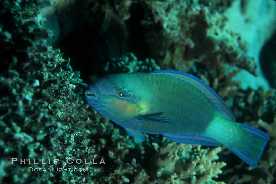 Female queen parrotfish feeds on coral reef with teeth and jaws suited to pulverize hard coral, excreting the remains as sand. Roatan, Honduras, Scarus vetula, natural history stock photograph, photo id 07095