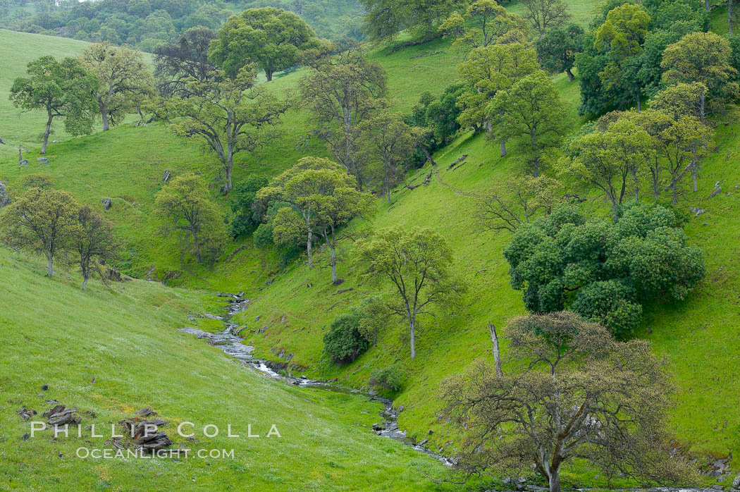 Oak trees and grass cover the countryside in green, spring, Sierra Nevada foothills. Mariposa, California, USA, Quercus, natural history stock photograph, photo id 16064