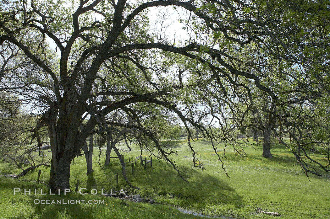 Oak trees and grass cover the countryside in green, spring, Sierra Nevada foothills. Mariposa, California, USA, Quercus, natural history stock photograph, photo id 16055