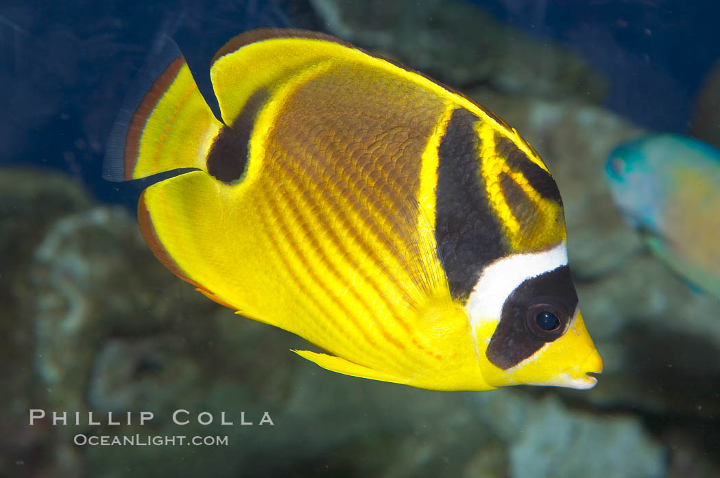 Raccoon butterflyfish., Chaetodon lunula, natural history stock photograph, photo id 13991