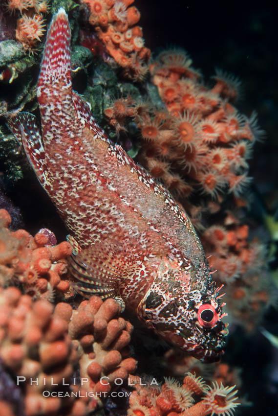Rainbow scorpionfish, juvenile. Guadalupe Island (Isla Guadalupe), Baja California, Mexico, Scorpaenodes xyris, natural history stock photograph, photo id 04617
