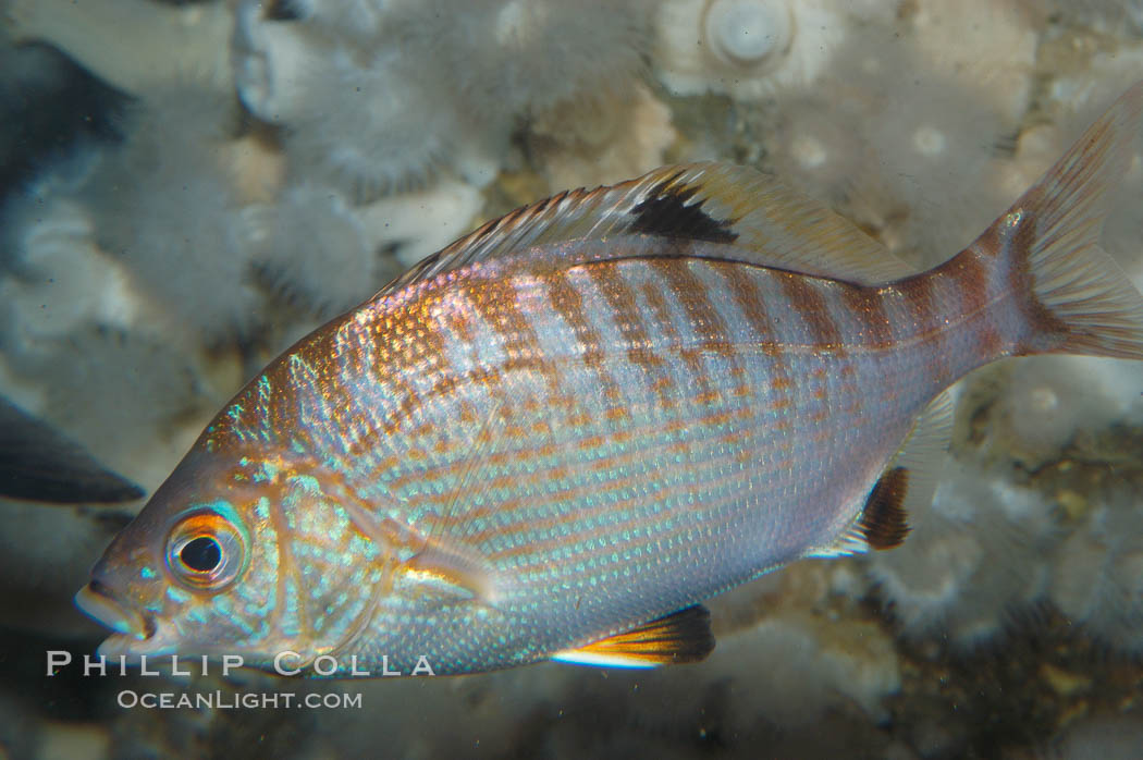 Rainbow surfperch., Hypsurus caryi, natural history stock photograph, photo id 09006