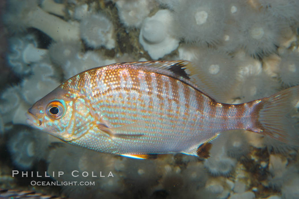 Rainbow surfperch., Hypsurus caryi, natural history stock photograph, photo id 09009