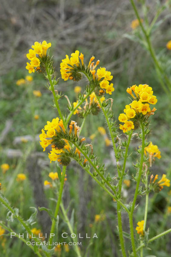 Ranchers fiddleneck, also known as common fiddleneck, blooms in spring. San Elijo Lagoon, Encinitas, California, USA, Amsinckia menziesii, natural history stock photograph, photo id 11650