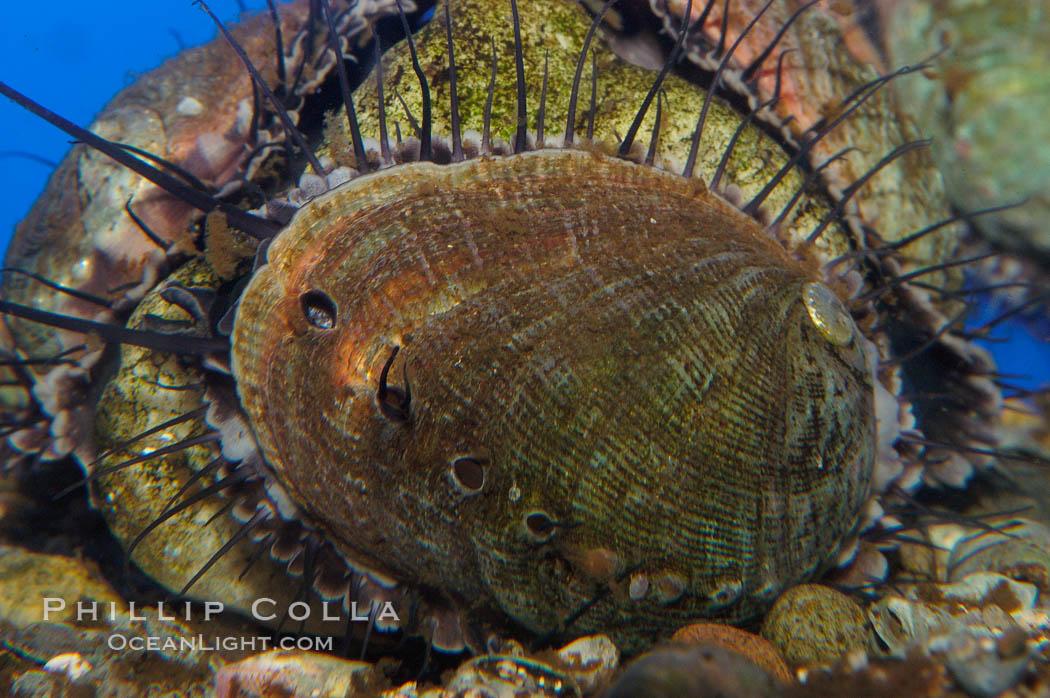 Juvenile red abalone., Haliotis rufescens, natural history stock photograph, photo id 08633