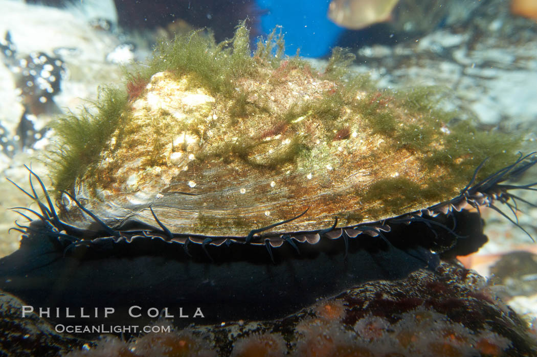 Red abalone., Haliotis rufescens, natural history stock photograph, photo id 11825