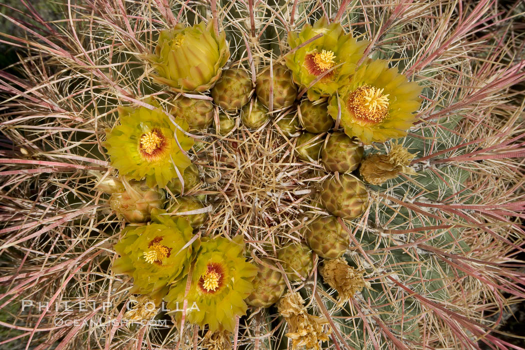 Barrel cactus bloom.  Heavy winter rains led to a historic springtime bloom in 2005, carpeting the entire desert in vegetation and color for months. Anza-Borrego Desert State Park, Borrego Springs, California, USA, Ferocactus cylindraceus, natural history stock photograph, photo id 10934