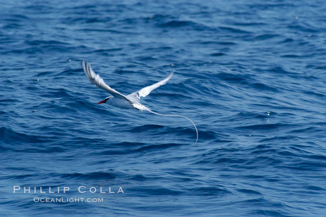 Image 07627, Red-billed tropic bird, open ocean. San Diego, California, USA, Phaethon aethereus, Phillip Colla, all rights reserved worldwide. Keywords: aethereus, animal, animalia, aves, bird, california, chordata, pelecaniformes, phaethon, phaethon aethereus, phaethontidae, red billed tropic bird, red-billed tropicbird, redbilled tropic bird, san diego, seabird, usa, vertebrata, vertebrate.