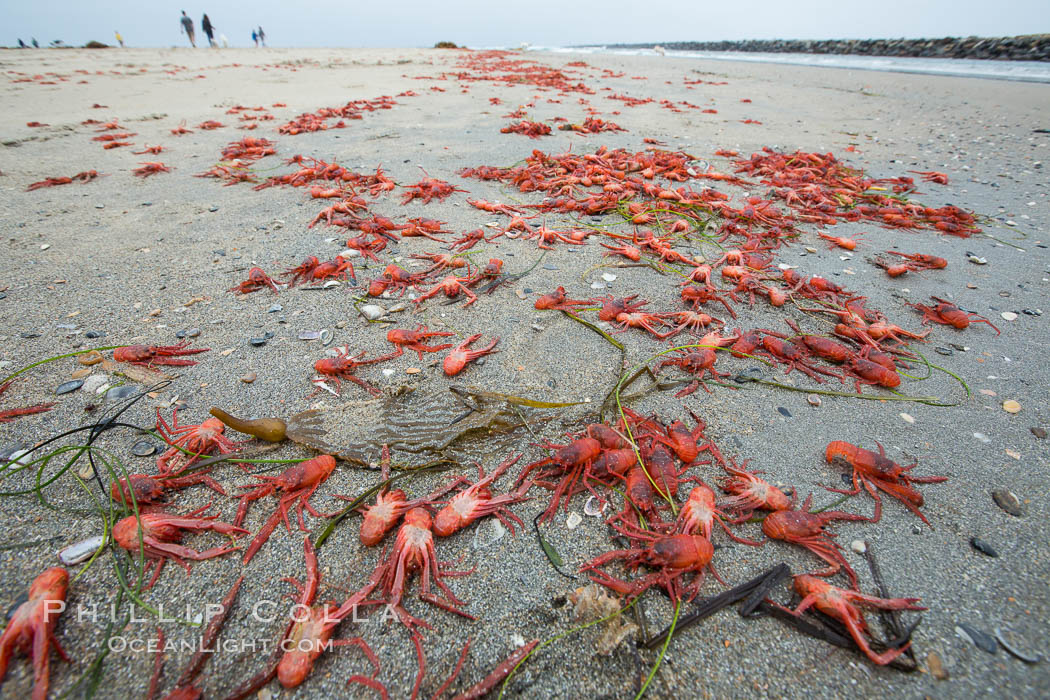 Pelagic red tuna crabs, washed ashore to form dense piles on the beach. Ocean Beach, California, USA, Pleuroncodes planipes, natural history stock photograph, photo id 30980