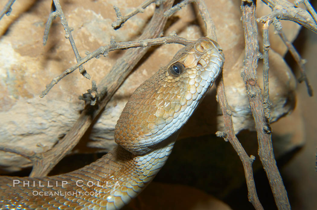 Image 12598, Red diamond rattlesnake.  The red diamond rattlesnake is the largest rattlesnake in southern California, reaching a length of 6 feet (2m).  It occurs from the coast to elevations of 5000 feet., Crotalus ruber ruber