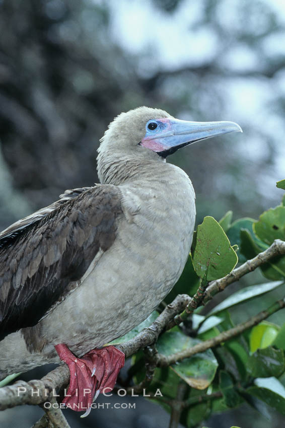 Red-footed booby. Cocos Island, Costa Rica, Sula sula, natural history stock photograph, photo id 03254