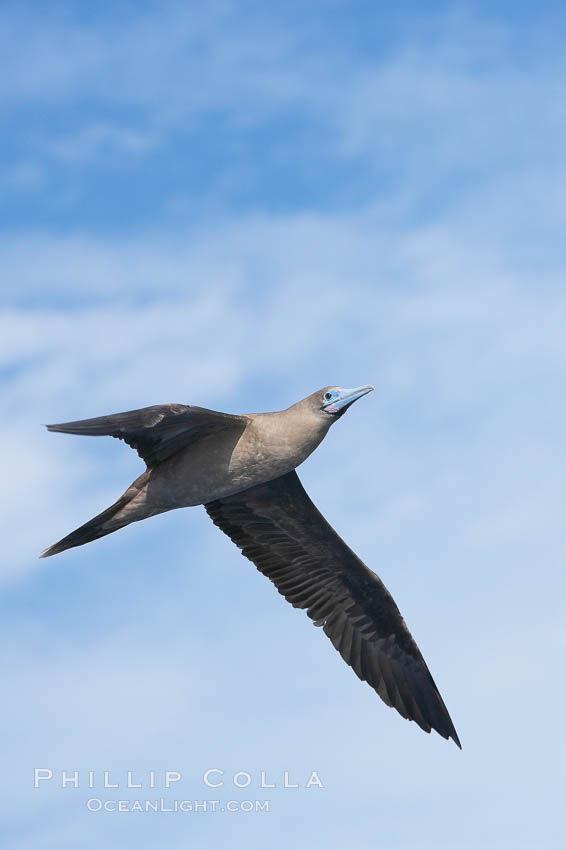 Red-footed booby in flight. Wolf Island, Galapagos Islands, Ecuador, Sula sula, natural history stock photograph, photo id 16682