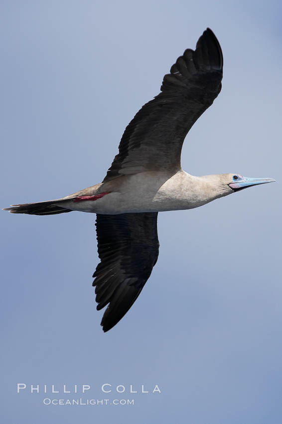 Red-footed booby in flight. Wolf Island, Galapagos Islands, Ecuador, Sula sula, natural history stock photograph, photo id 16683