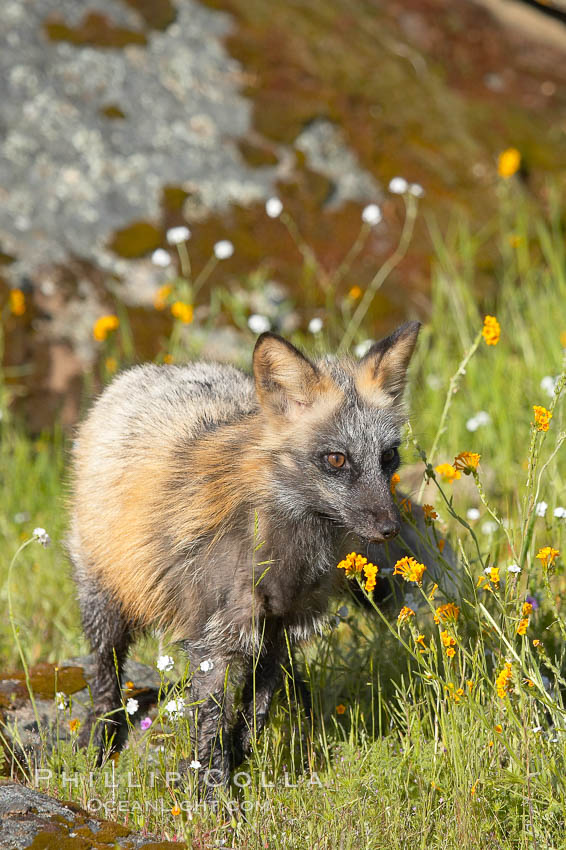 Cross fox, Sierra Nevada foothills, Mariposa, California.  The cross fox is a color variation of the red fox., Vulpes vulpes, natural history stock photograph, photo id 15966