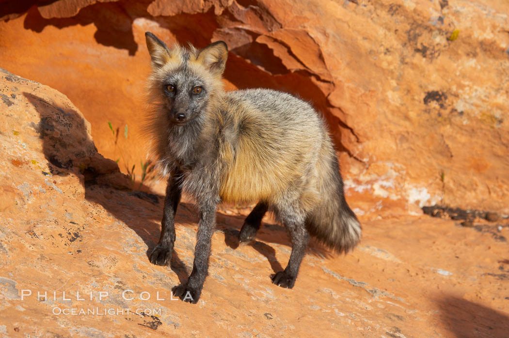 Cross fox.  The cross fox is a color variation of the red fox., Vulpes vulpes, natural history stock photograph, photo id 12117
