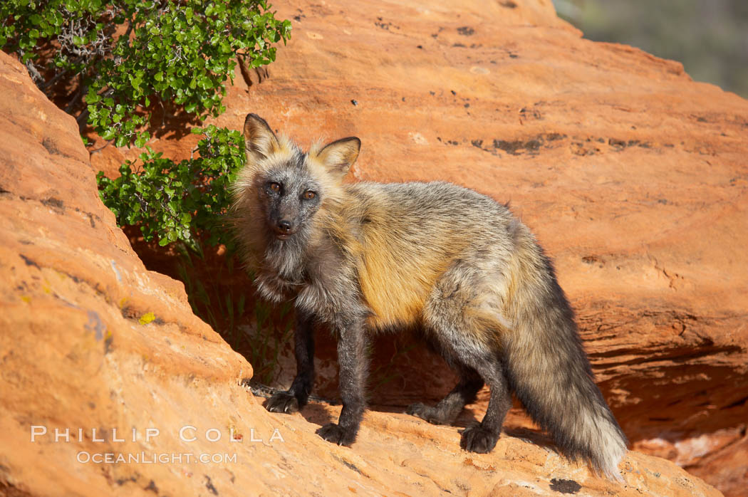Cross fox.  The cross fox is a color variation of the red fox., Vulpes vulpes, natural history stock photograph, photo id 12118