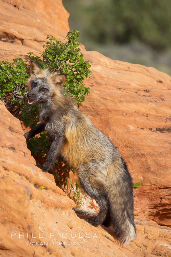 Cross fox.  The cross fox is a color variation of the red fox., Vulpes vulpes, natural history stock photograph, photo id 12112