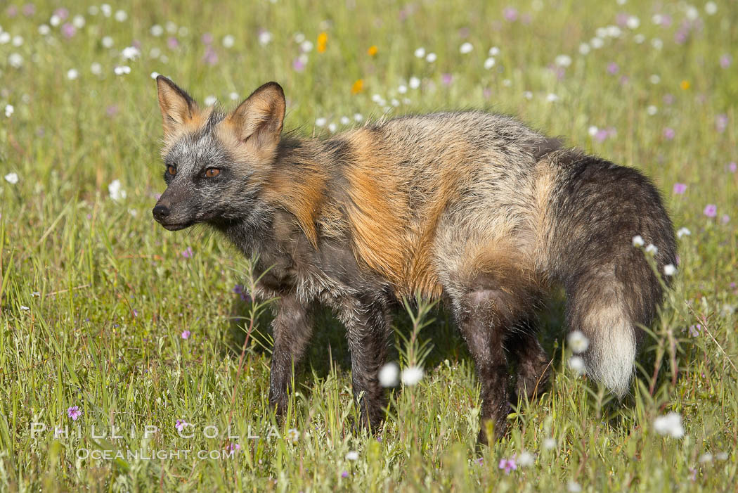 Cross fox, Sierra Nevada foothills, Mariposa, California.  The cross fox is a color variation of the red fox., Vulpes vulpes, natural history stock photograph, photo id 15964