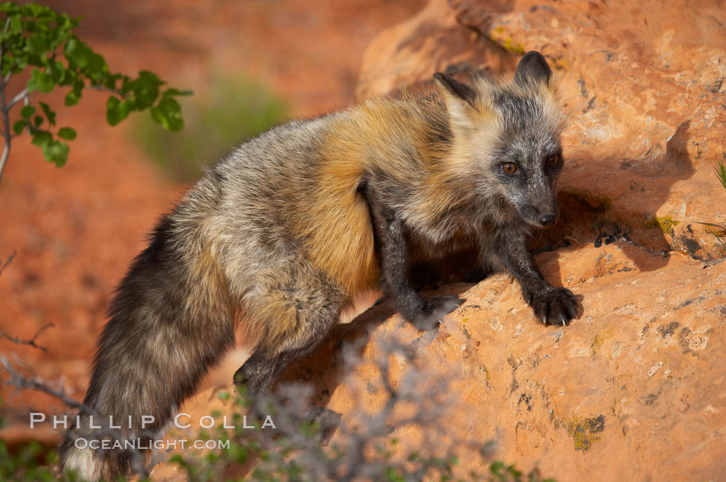 Cross fox.  The cross fox is a color variation of the red fox., Vulpes vulpes, natural history stock photograph, photo id 12121