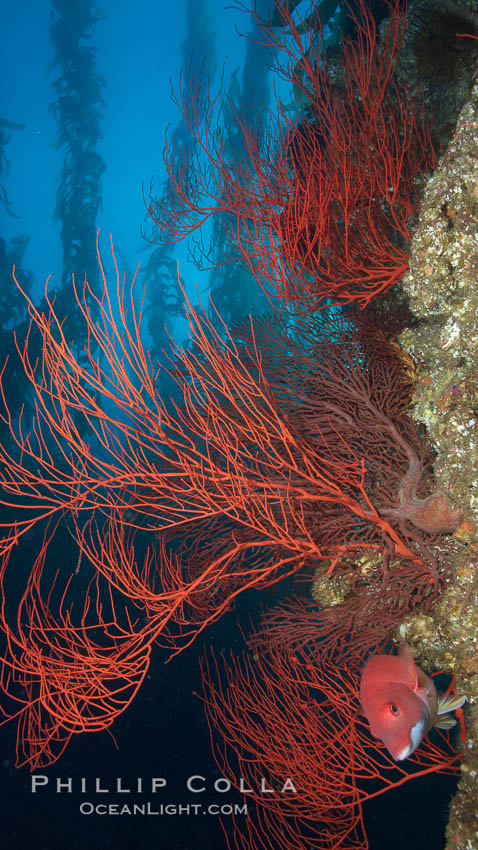 Image 23506, Red gorgonian on rocky reef, below kelp forest, underwater.  The red gorgonian is a filter-feeding temperate colonial species that lives on the rocky bottom at depths between 50 to 200 feet deep. Gorgonians are oriented at right angles to prevailing water currents to capture plankton drifting by. San Clemente Island, California, USA, Lophogorgia chilensis, Phillip Colla, all rights reserved worldwide. Keywords: animal, animalia, california, channel islands, coral, creature, environment, gorgonian, habitat, invertebrate, lophogorgia chilensis, marine, marine invertebrate, nature, ocean, oceans, offshore, outdoors, outside, pacific, pacific ocean, red gorgonian, reef, san clemente island, scene, scenery, scenic, sea, sea fan, seascape, soft coral, southern channel islands, submarine, underwater, underwater landscape, usa, wildlife.