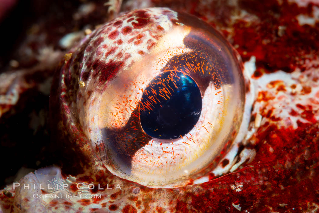 Red Irish Lord eye detail, Browning Pass, British Columbia, Hemilepidotus hemilepidotus