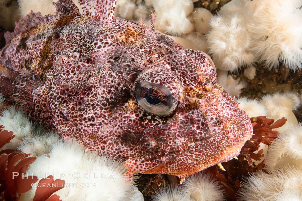 Red Irish Lord sculpinfish, Browning Pass, British Columbia. British Columbia, Canada, Hemilepidotus hemilepidotus, natural history stock photograph, photo id 35386