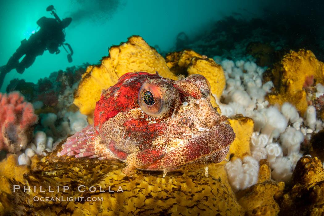 Red Irish Lord sculpinfish, Browning Pass, British Columbia. British Columbia, Canada, Hemilepidotus hemilepidotus, natural history stock photograph, photo id 35519