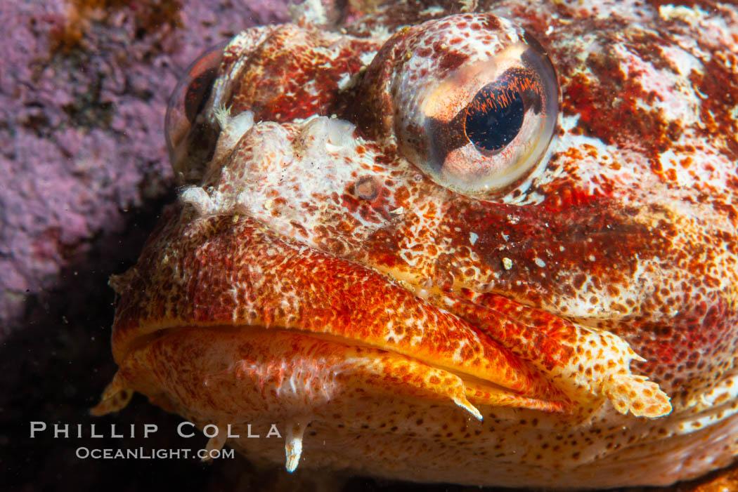 Red Irish Lord sculpinfish, Browning Pass, British Columbia. British Columbia, Canada, Hemilepidotus hemilepidotus, natural history stock photograph, photo id 35527