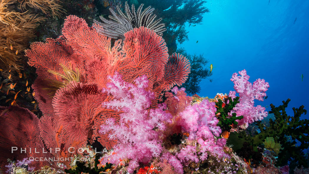 Red-orange Gorgonian Sea Fans and Pink Dendronephthya Soft Corals, Fiji. Vatu I Ra Passage, Bligh Waters, Viti Levu  Island, Dendronephthya, Gorgonacea, Plexauridae, natural history stock photograph, photo id 31493